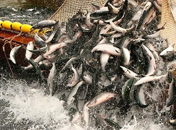 рыбодобывающая